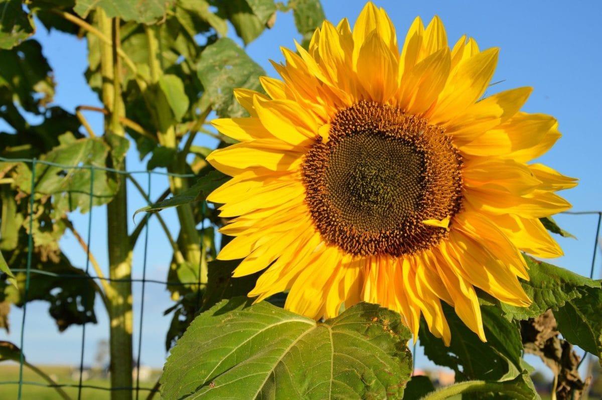 cvijet, list, ljeto, suncokret, priroda, polje, poljoprivreda