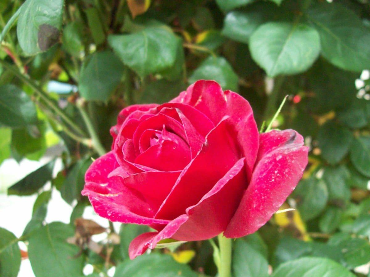 ใบ, ฤดูร้อน, ดอกไม้, ดอกกุหลาบสีแดง, ธรรมชาติ, สวน