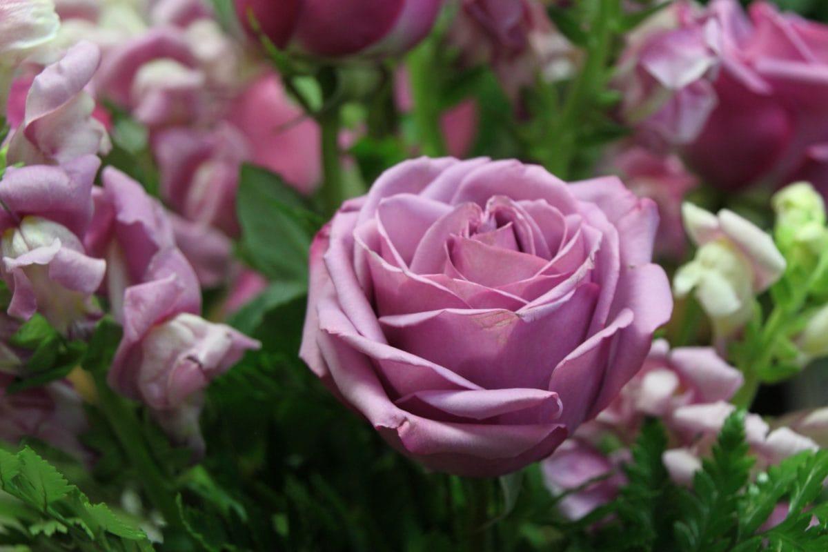 daun, daun bunga, Taman, alam, ungu, mawar, pink, tanaman, mekar