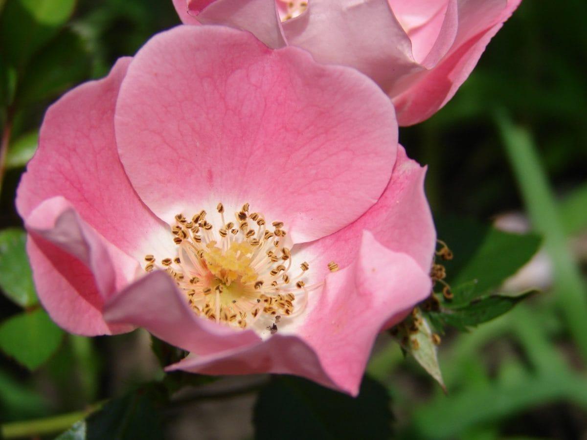 Image Libre Fleur De Rose Sauvage Feuille Pistil Plante Rose