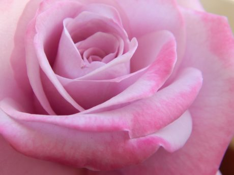 pastel, rose bud, petal, detail, affection, dew, flower, pink, plant