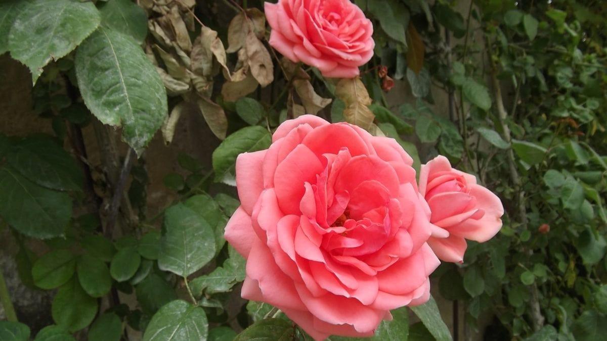 flori, frunze, natura, Rose Bud, gradina, Petal, Herb, ecologie