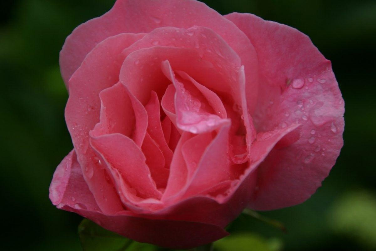 flower, rose bud, leaf, garden, petal, nature, pollen, plant