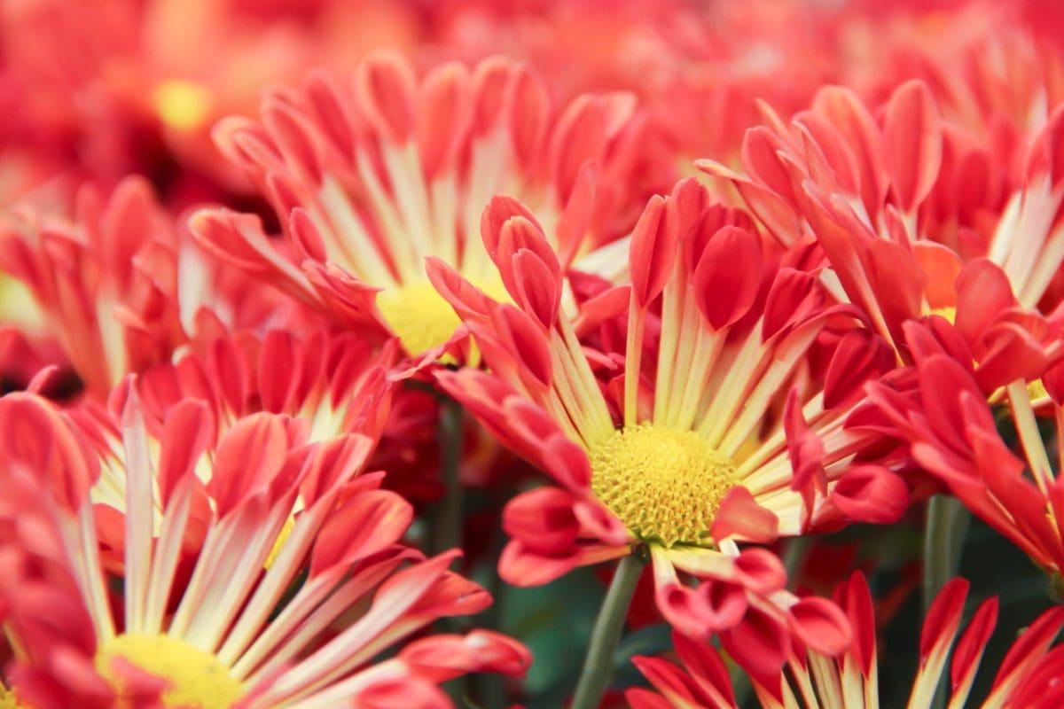 okvetné lístok, leto, červený kvet, príroda, Záhrada, rastliny, piestik, Bloom
