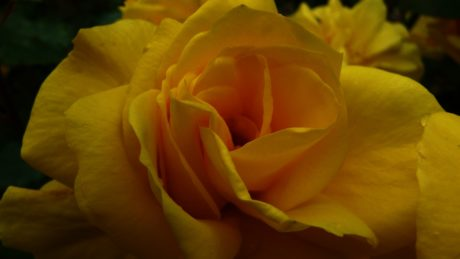 summer, leaf, petal, yellow rose flower, nature, flower, plant, bloom, blossom