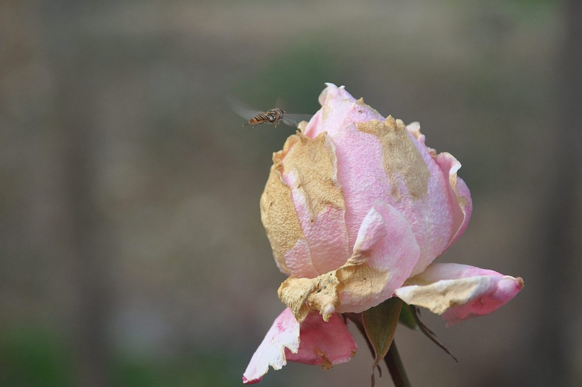 rosa blomma, natur, löv, ros, växt, kronblad, blomma, trädgård