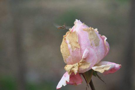 lyserød blomst, natur, blad, Rose, plante, kronblad, blomstre, have