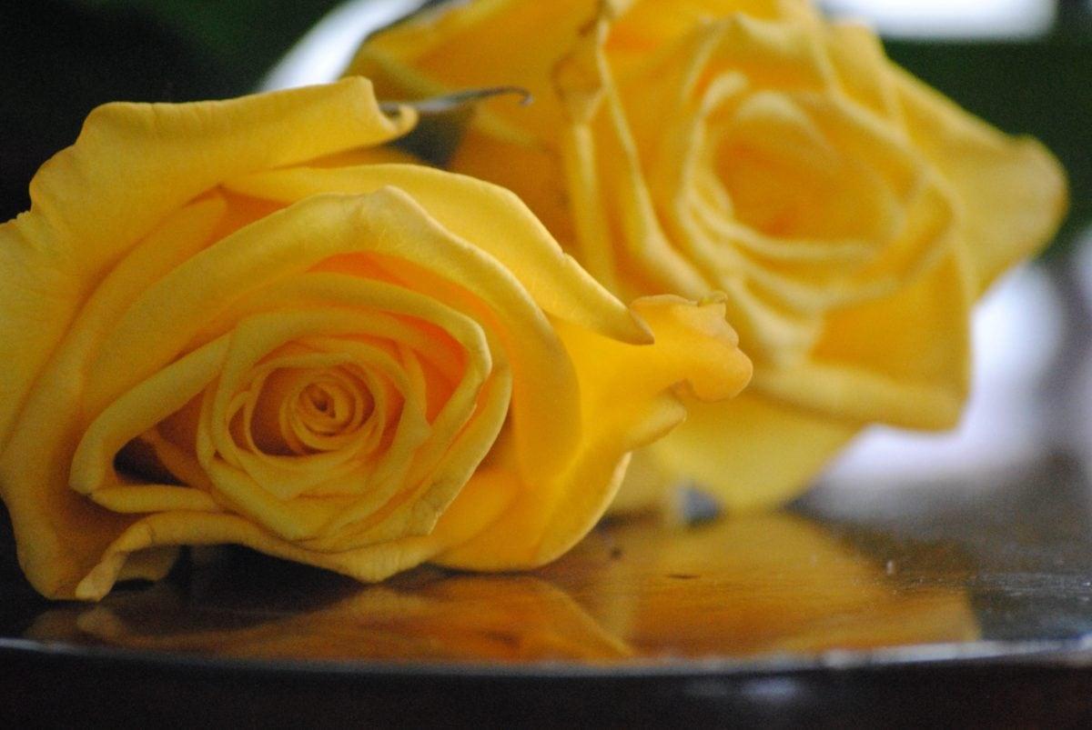 flower, rose bud, petal, bouquet, plant, biology