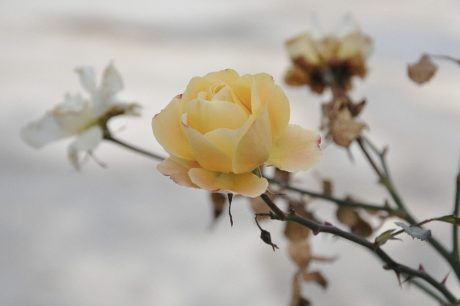 nature, yellow flower, rose bud, plant, petal, bloom, blossom, garden
