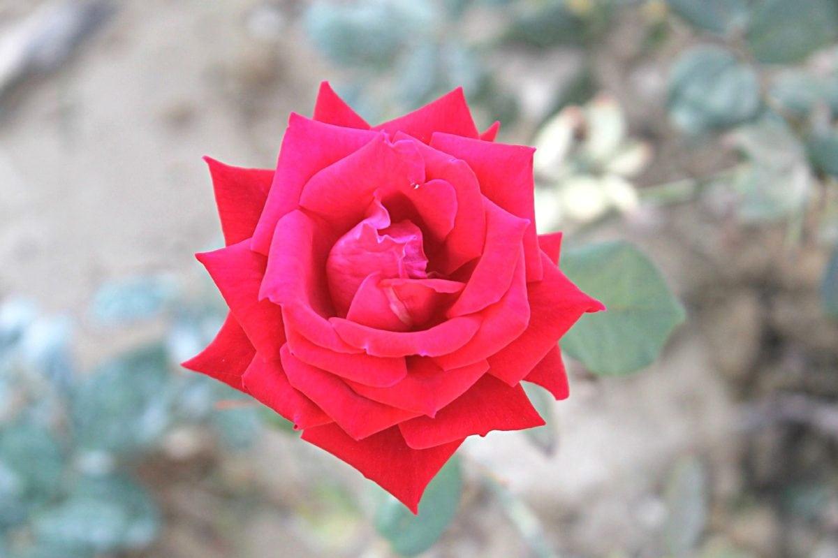 blomsterträdgård, natur, ros, kronblad, växt, rosa, sommar, blomning