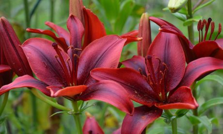 flower, nature, red lily flower, garden, summer, leaf, plant