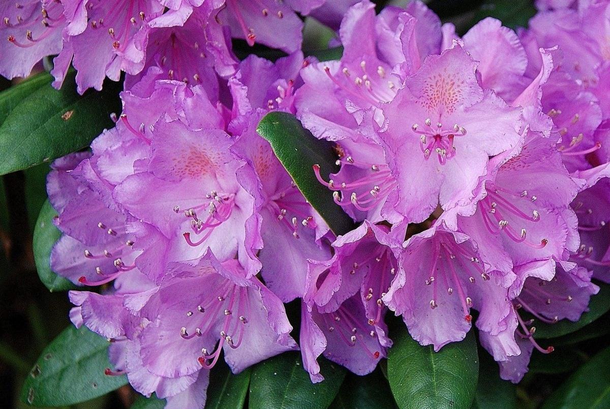 priroda, list, vrt, cvijet, latica, rododendron, biljka