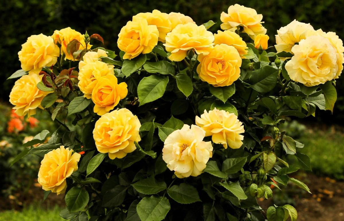 summer, yellow rose, petal, flower, garden, nature, leaf, plant