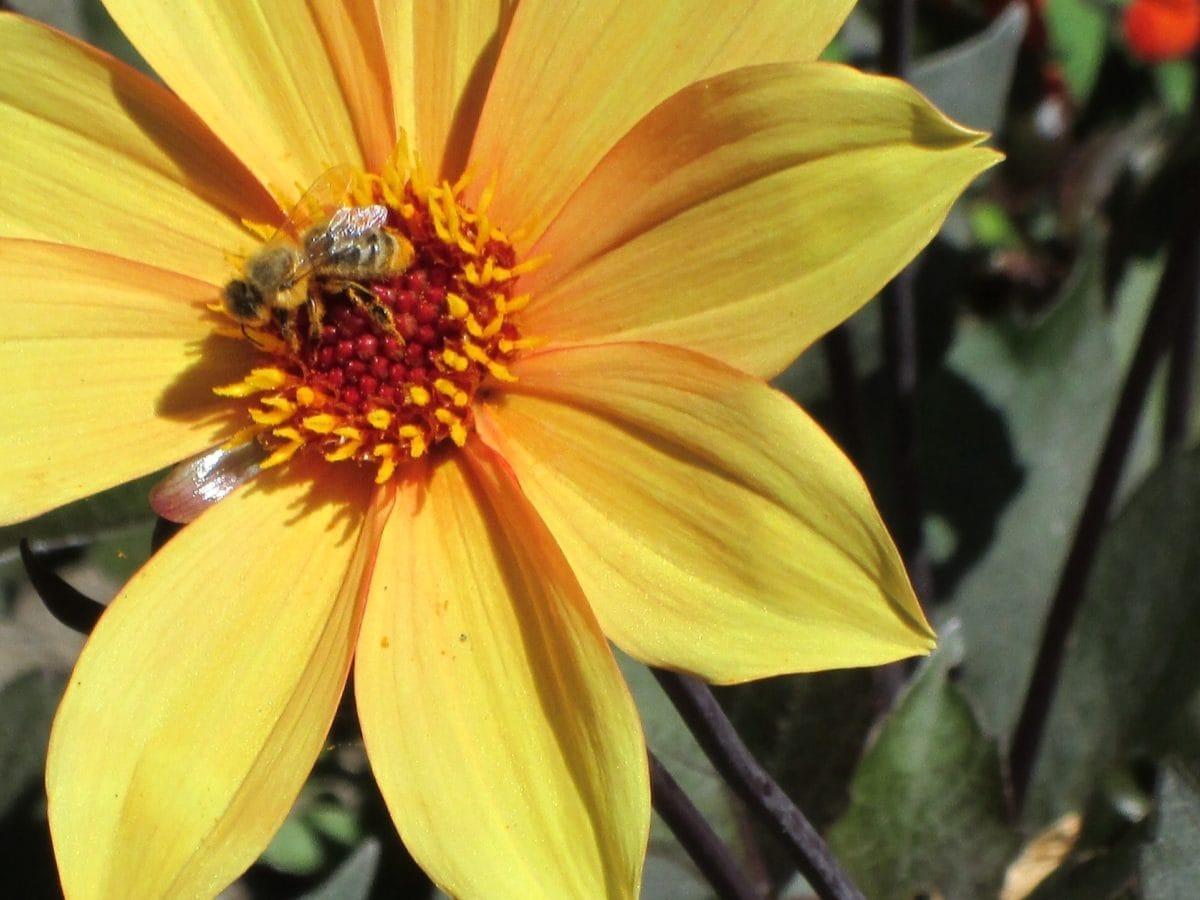 natur, blomma, bi, insekt, växt, ört, kronblad, trädgård, blomma