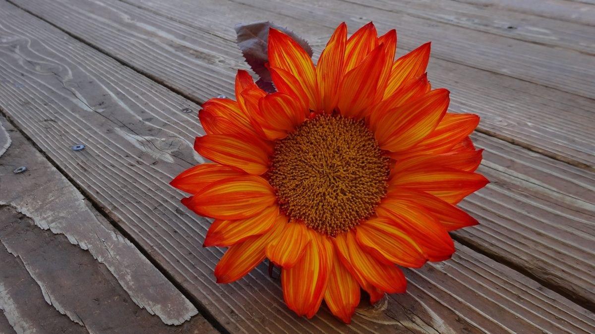 nature, summer, flower, still life, petal, plant, decoration, blossom