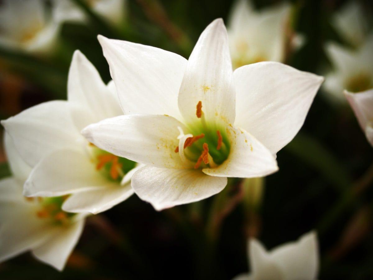 luonto, lehti, kukka, Narcissus, kasvi, kukka, terä lehti, Puutarha