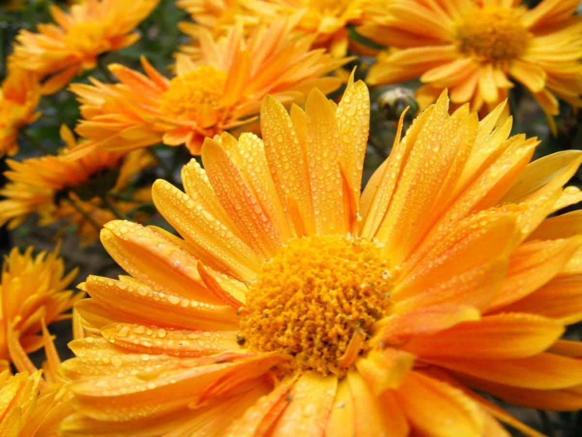 nature, flower, summer, petal, plant, garden, blossom, bloom