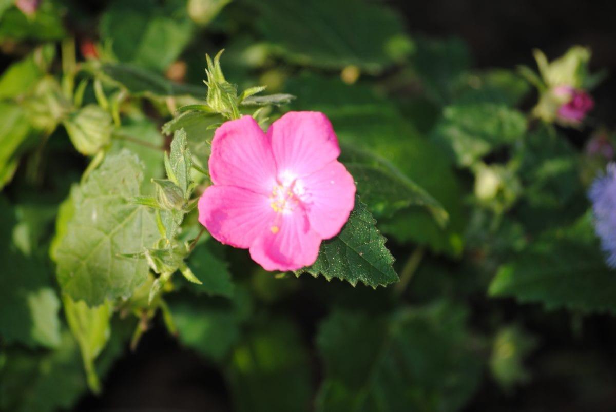 mawar liar, kelopak, alam, daun, kuncup bunga, Taman, waktu musim panas, bayangan, pink
