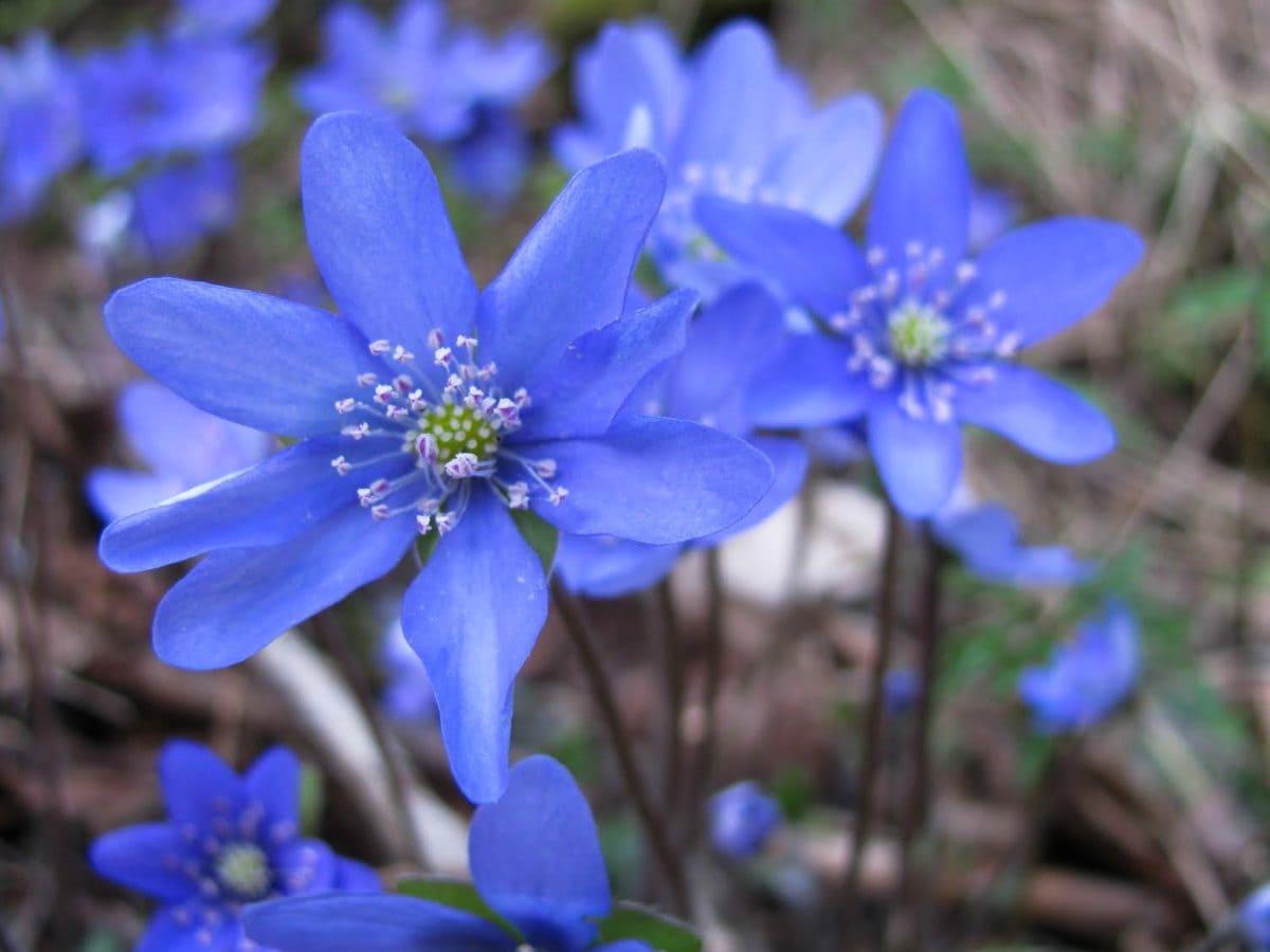 flor azul, pistilo, Pétalo, jardín, naturaleza, hierba, planta, flor, organismo