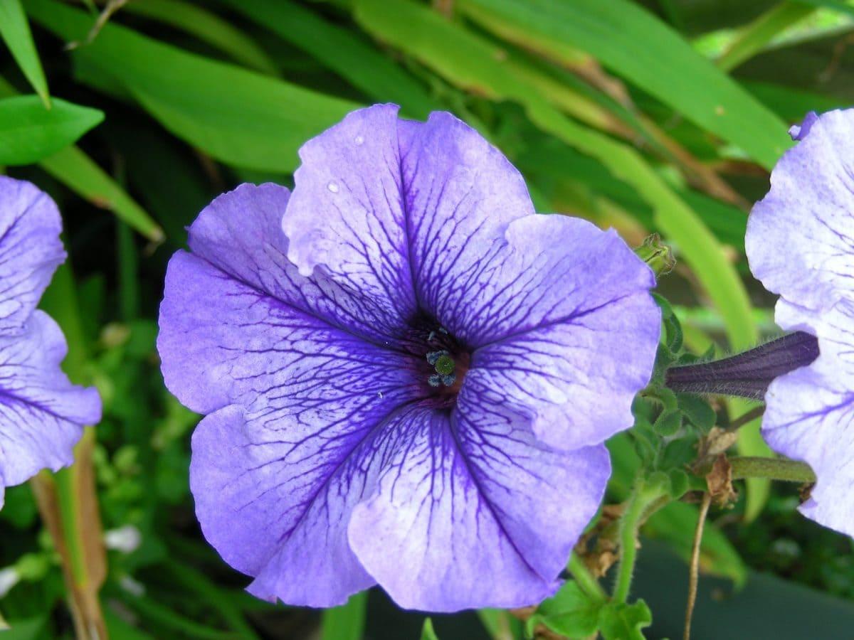 blue flower, nature, summer, garden, leaf, petal, petunia, plant