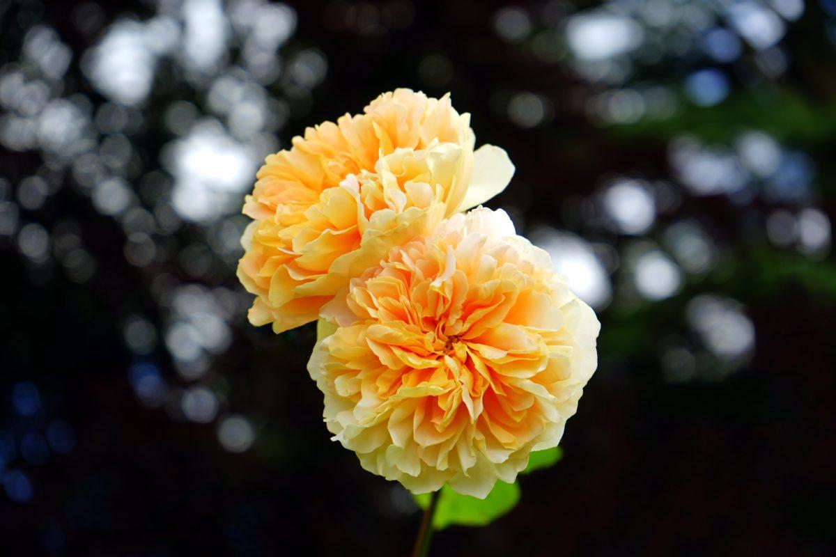 flower, nature, leaf, yellow camellia, plant, petal, garden
