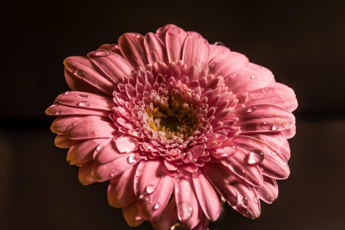 Rosa, vlhkost, květina, příroda, krásné, okvětní lístek, růžová, květ, květ, rostlina