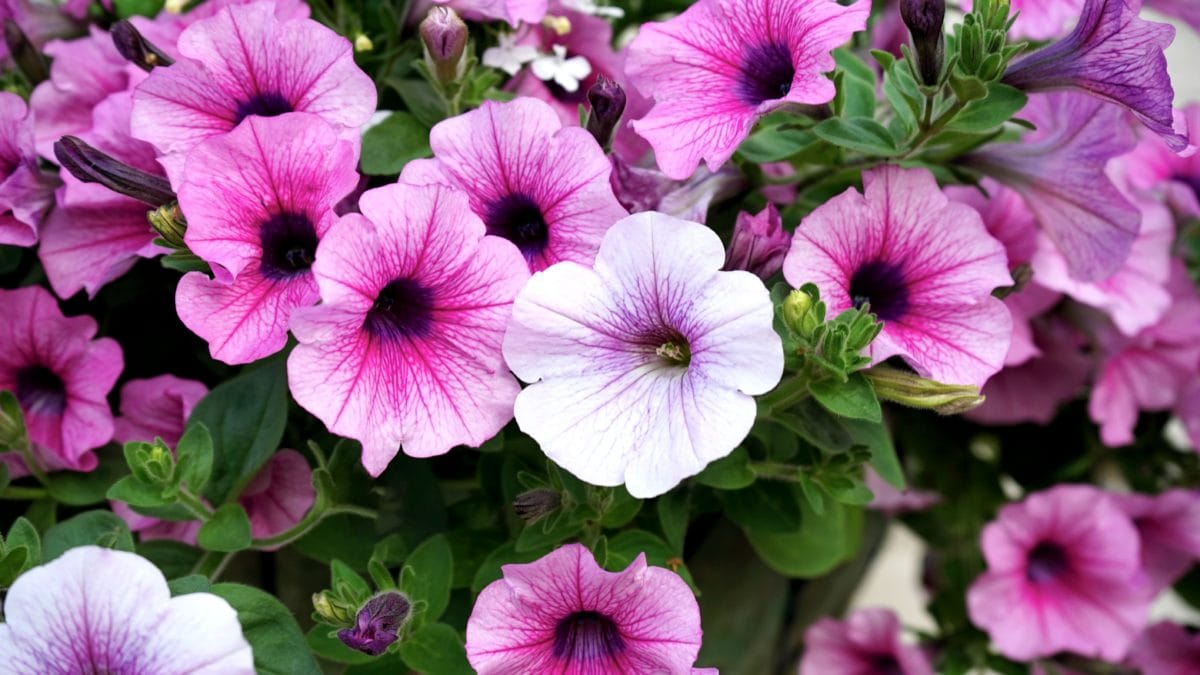 vrt, cvijet, roza Petunia, roza, ljetna Sezona