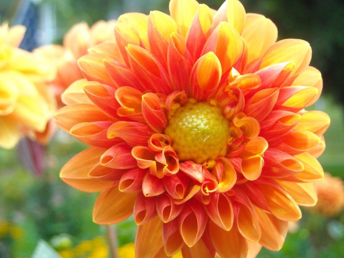 庭, 花, 自然, 花びら, 夏, 葉, 植物, ブロッサム