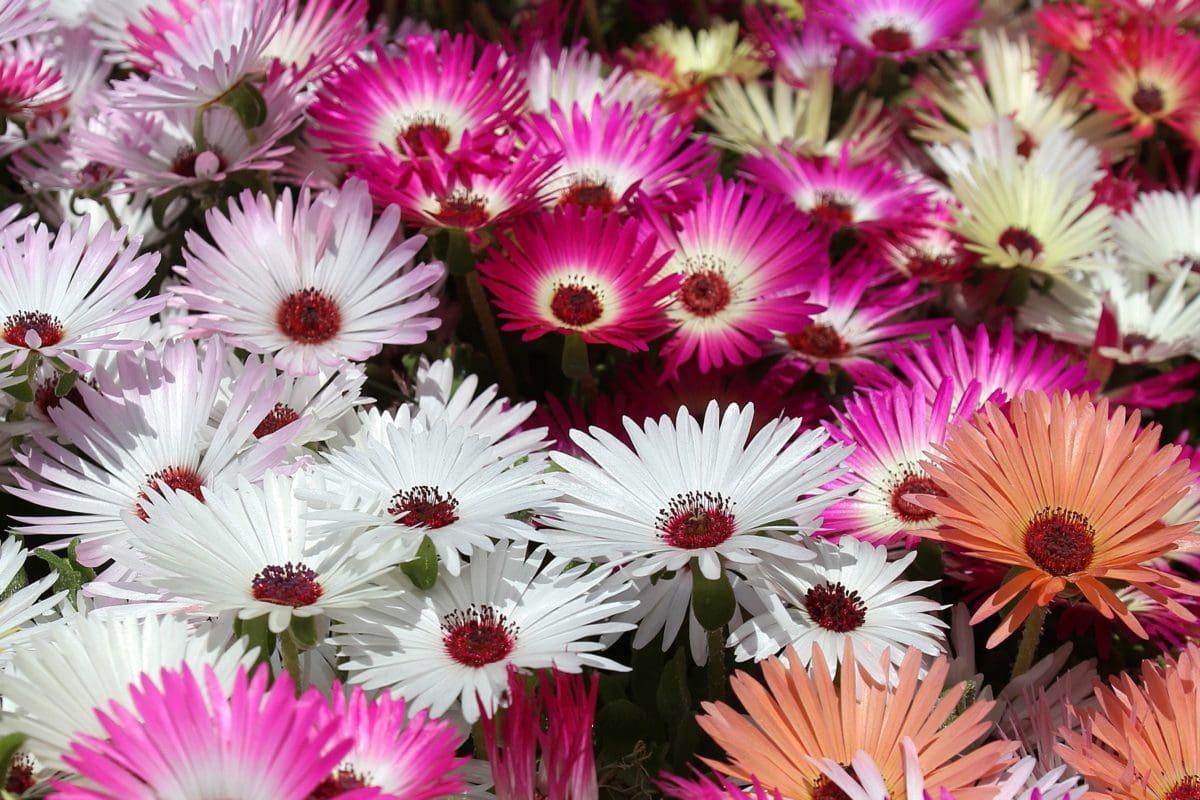 natureza, pétala, flor, verão, planta, organismo, Pink