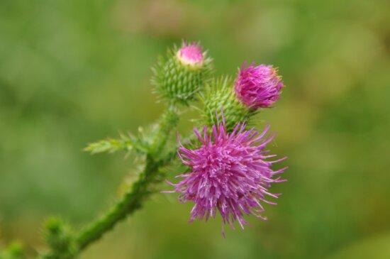 été, nature, fleur, feuille, plante, chardon