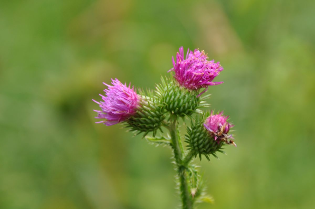 nature, leaf, summer, thistle flower, herb, plant, garden, pink, blossom