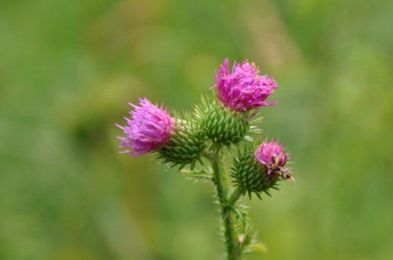 nature, feuille, été, fleur de chardon, herbe, plante, jardin, rose, fleur