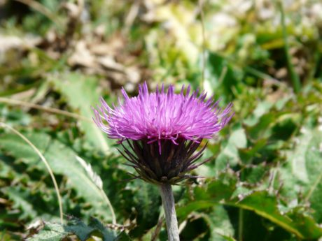 nature, leaf, garden, summer, thistle flower, herb