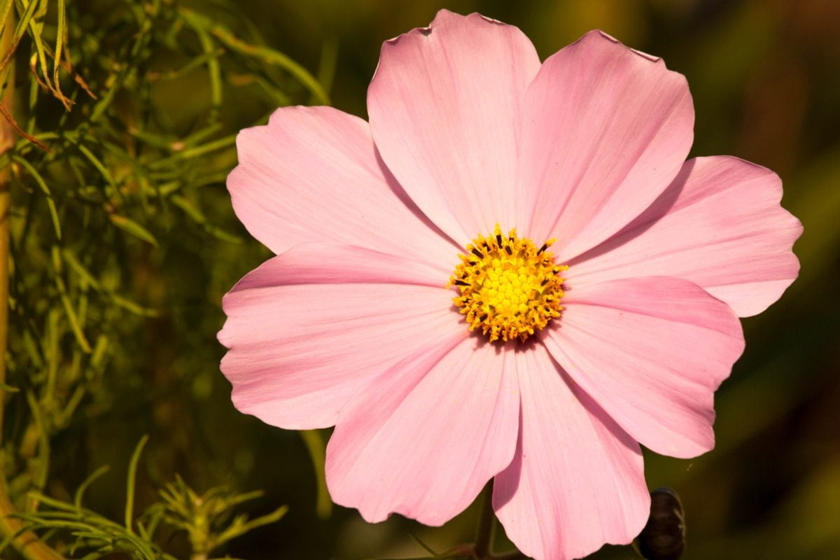 zomer, bloem, natuur, bloemblaadje, bloesem, Tuin, plant, Bloom