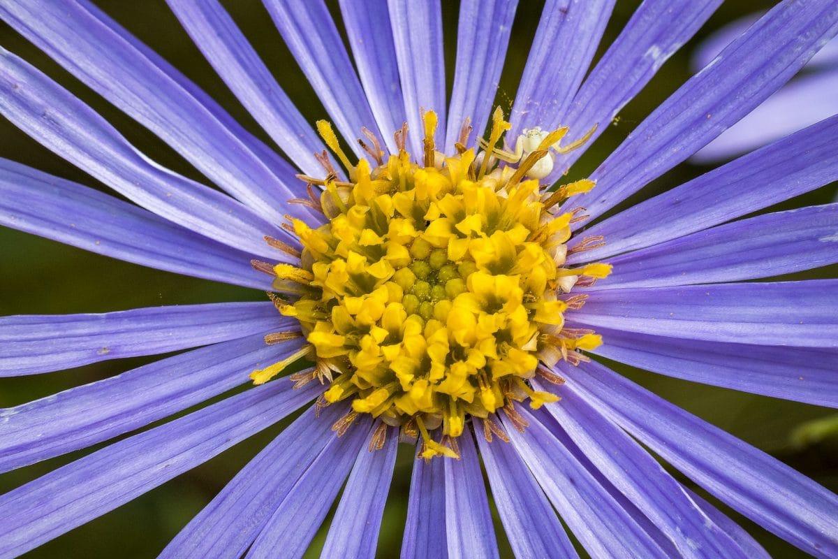 pollen, nektar, detalj, hage, sommer, lilla blomst, natur