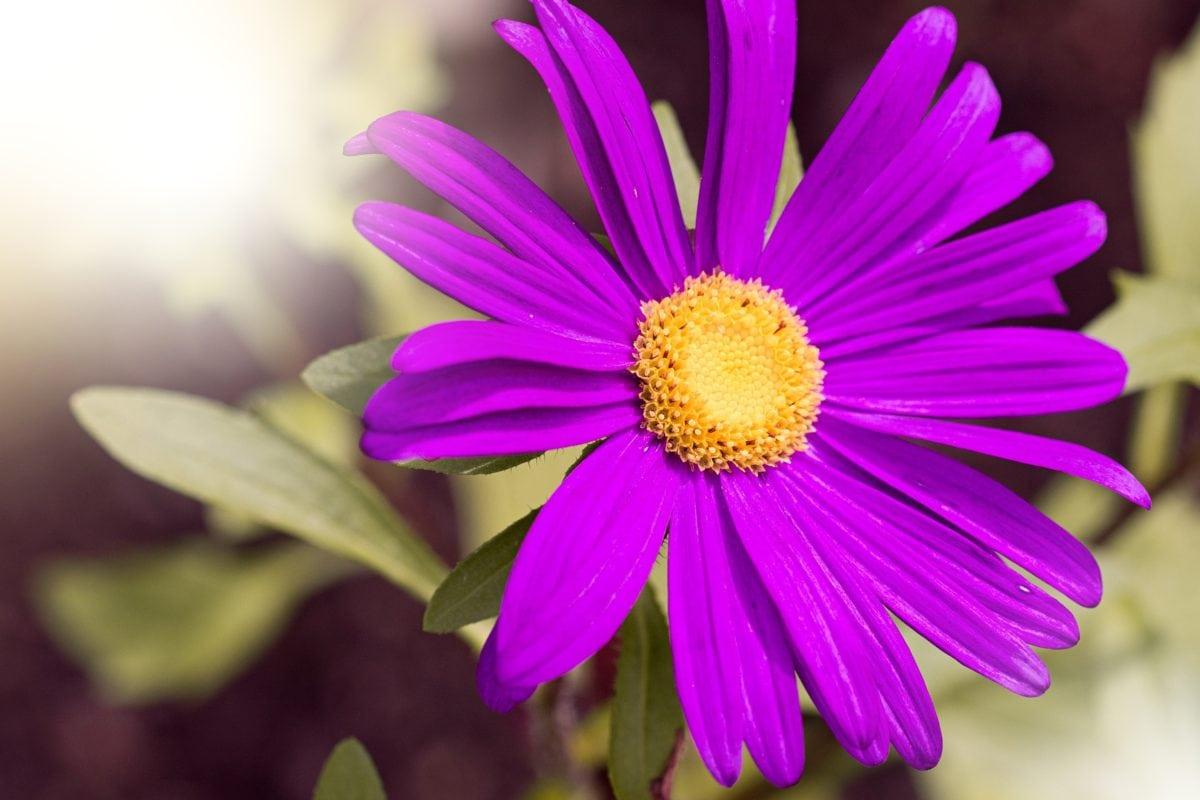 Kwiat ogród, słońce, natura, liść, lato, kwiat, Płatek, różowy, roślina