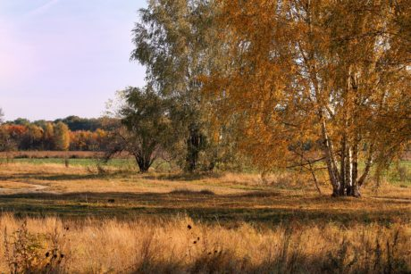 wood, tree, landscape, birch, nature, steppe, autumn, blue sky, forest, grass