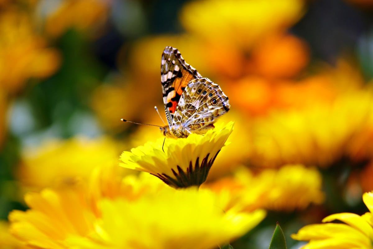 garden, nature, summer, flower, colorful butterfly, insect, plant
