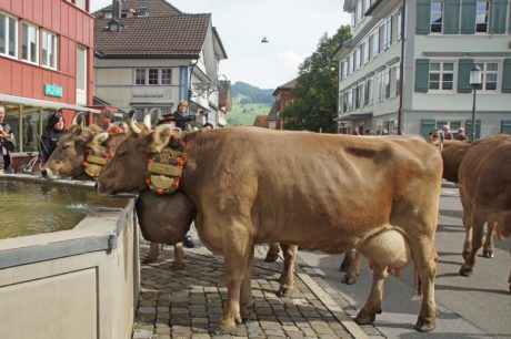 people, cattle, bovine, bull, urban area, cow, oxcart, outdoor, street festival