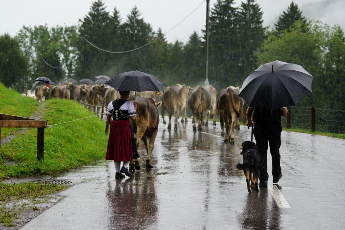 people, umbrella, rain, cattle, sky, outdoor, tree, grass