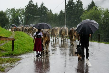 people, umbrella, rain, cattle, sky, outdoor, tree, grass