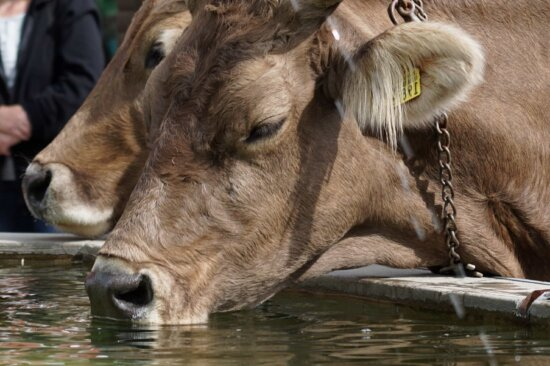 agriculture,livestock, cattle, nature, cow, animal, bovine