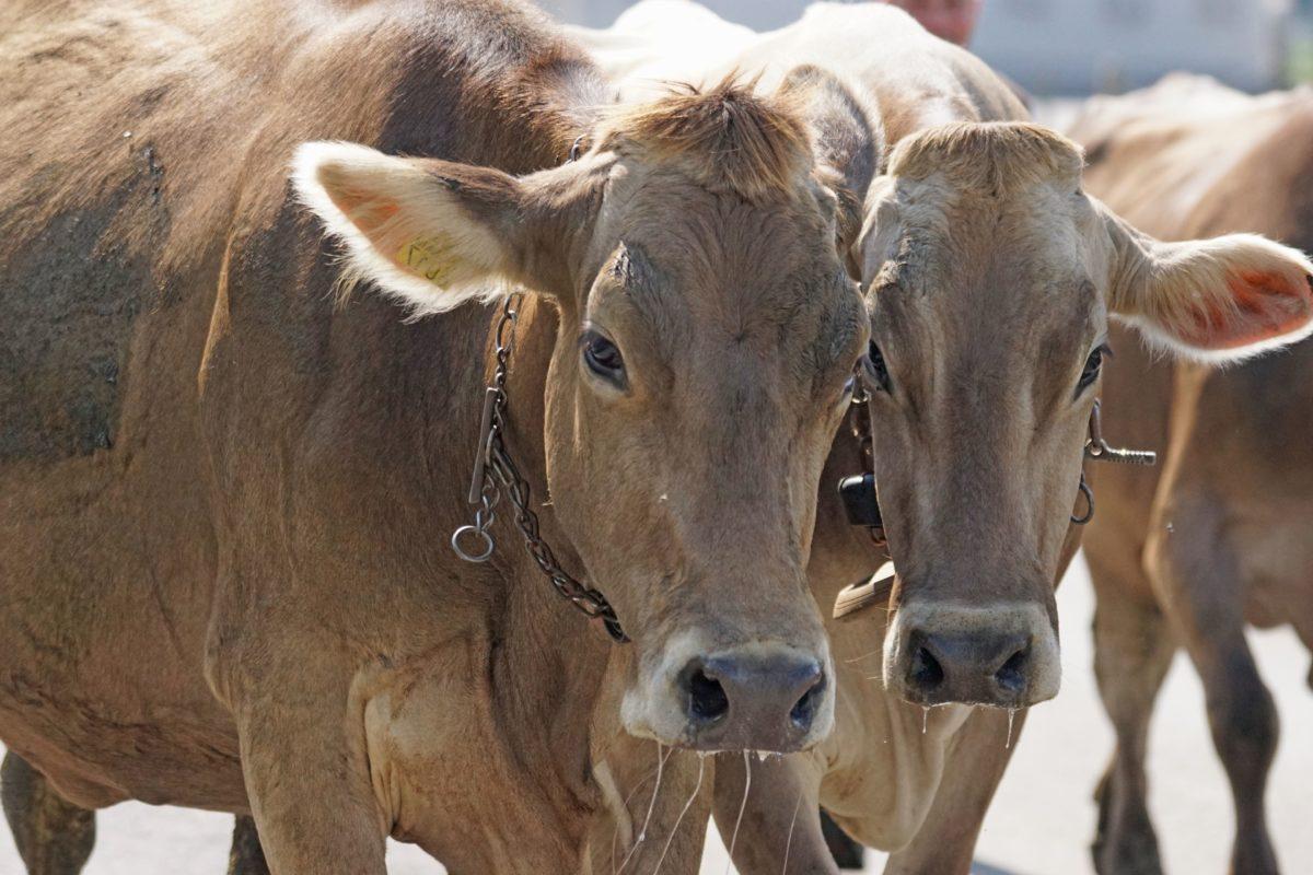стадо, крава, теле, бик, животните, говеда, селско стопанство, животновъдство
