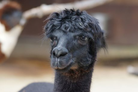 portrait, black llama, wildlife, wild, animal, indoor