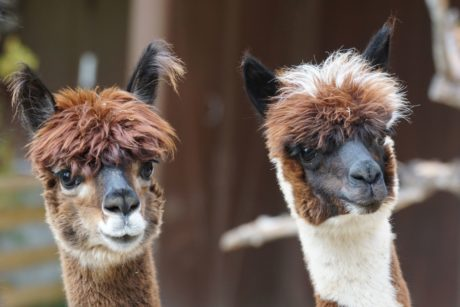 head, portrait, cute, animal, llama, fur, zoology