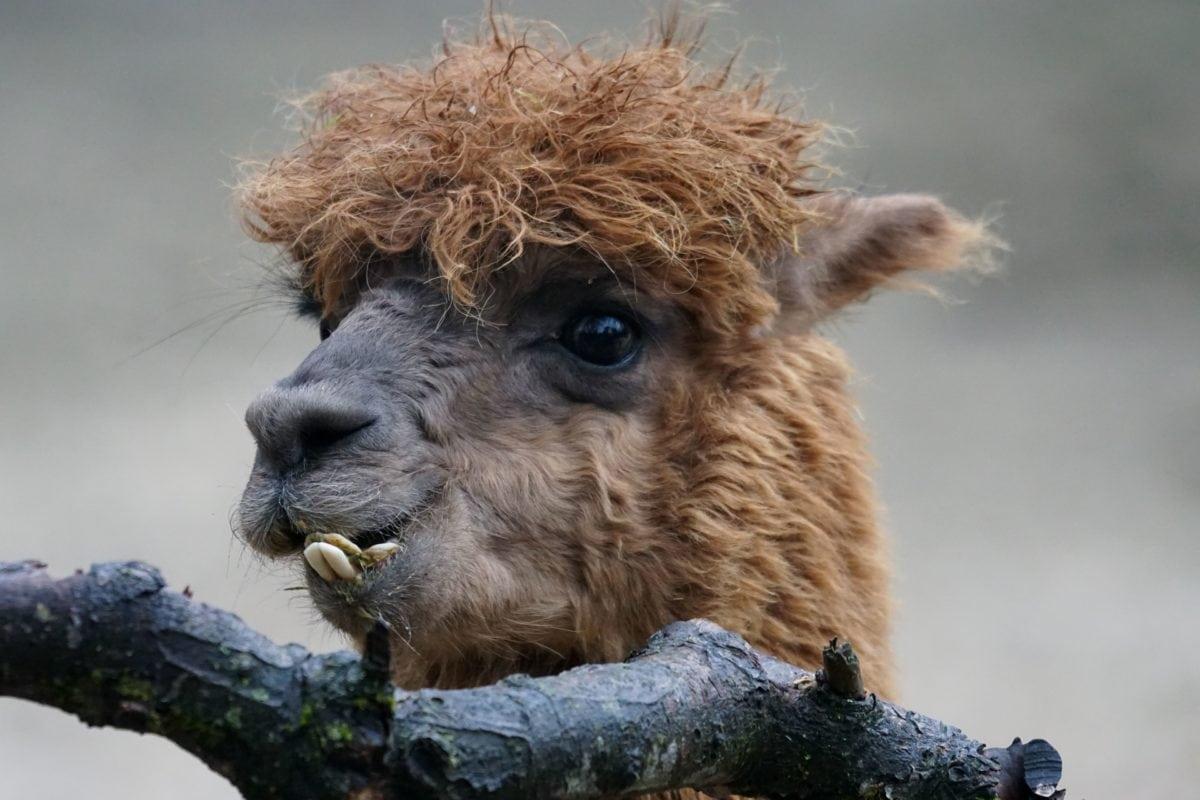 kožešina, příroda, zvíře, roztomilý, portrét, divoká zvěř, Lama, větev