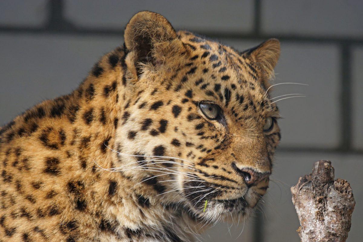 kat, Leopard, Predator, Wildlife, Fur, Feline, Wildlife
