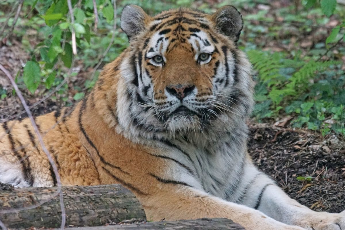 Free picture: carnivore, wildlife, predator, tiger, wild ...