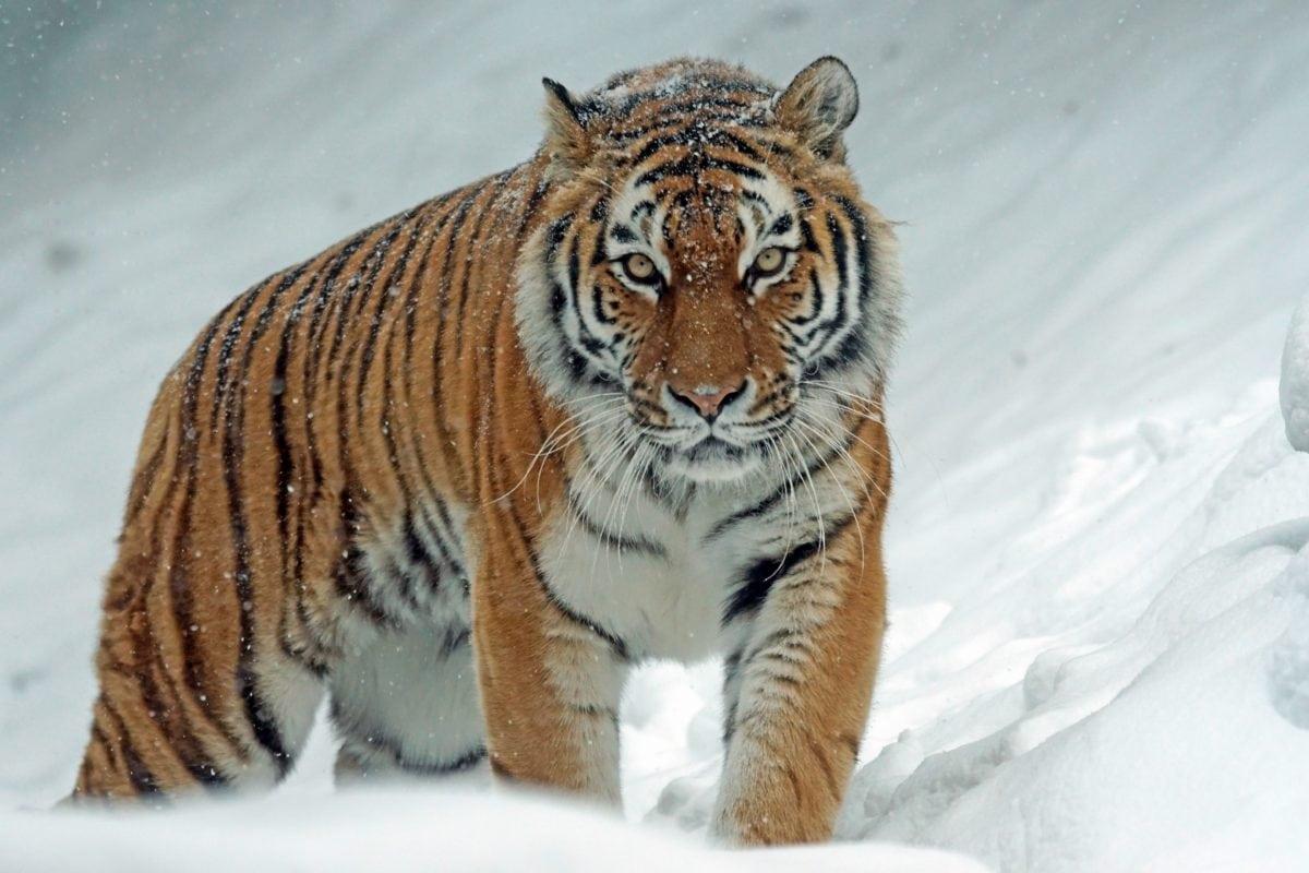 Wildtiere, Tiger, Katzen, Katze, Wildnis, Streifen, Fell, Raubtier
