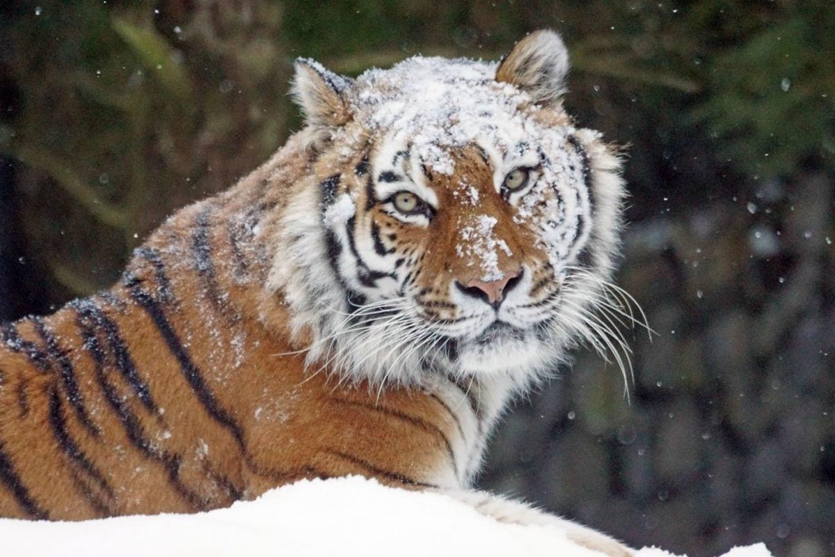 vadon élő állatok, természet, ragadozó, macska, vad, állat, tigris, macskaféle